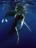 Tonga and Southern Humpback Whales