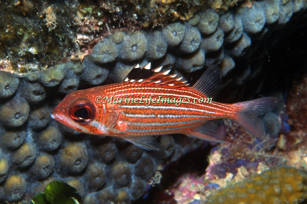 Reef Squirrelfish inhabit shallow inshore to deep offshore reefs, hide in small recesses peeking out occasionally in the Tropical West Atlantic; picture taken St. Lucia.
