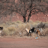 A pack of dogs roam behind a gas station in Fort Defiance, Arizona Thursday. COVID-19 presented new challenges to Navajo Nation animal control because many clinics and services were canceled in 2020.