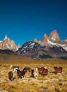 Horses grazing, La Quinta estancia on edge of Parque Nacional Los Glaciares, famous peaks Cerro Torre and FitzRoy behind, Patagonia, Argentina..
