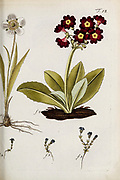 hand painted Botanical illustration of flower details leafs and plant from Miscellanea austriaca ad botanicam, chemiam, et historiam naturalem spectantia, cum figuris partim coloratis. Vol. I  by Nicolai Josephi Jacquin Published 1778. Figure 18