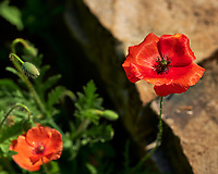 Red Poppy Flower. Image taken with a Fuji X-H1 camera and 80 mm f/2.8 macro lens