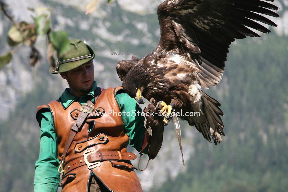Austria, County of Salzburg, Hohenwerfen Castle Birds of Prey Show falconer with a Griffon Vulture
