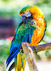 """The Catalina Macaw has two very popular types of macaws as its parents. The Scarlet Macaw, one of the most highly favored, is described as """"beautiful and striking"""". The Scarlet has been the best known South American parrot for over 100 years. The other parent, the Blue and Gold Macaw, has been has been one of the most popular pet birds in the trade, renowned not only for its beauty but for its gentle, amiable nature.<br /> <br />    Hybrid macaws are bred for color. The Catalina Macaws are a first generation hybrid macaw, though today there are second generation Catalina Macaws whose parents are both Catalinas. Because they are a mixture of more than one type of macaw, the offspring are influenced by the traits and characteristics of both of its parents. Father's have the dominant gene, so this will generally influence the offspring's coloration and overall appearance. The Catalina inherits its gorgeous coloring from these two striking parents."""