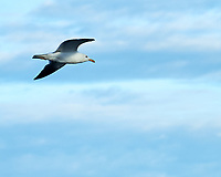 Great Black-backed Gull (Larus marinus). Viewed from the deck of the MV Explorer. Inner Oslo Fjord. Image taken with a Nikon Df camera and 70-200 mm f/4 VR lens.