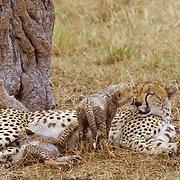 Cheetah, (Acinonyx jubatus) Mother and cubs resting in midday. Masai Mara National Reserve. Kenya. Africa.