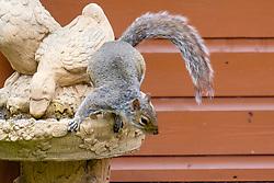 A Grey Squirrel (Scientific name Sciurus Carolinensison) Jumps from a bird bath during a brief visit to a small Sheffield suburban  garden.<br /> <br />  Copyright Paul David Drabble<br /> 20 June 2019<br />  www.pauldaviddrabble.co.uk