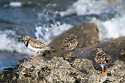 Turnstones on the Rine Peninsula, near Ballyvaughan, Co. Clare, Ireland, standing near the breaking waves