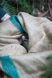 Mountain Brushtail Possum In Burlap Bag Being Released