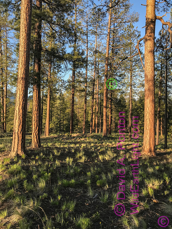 Open ponderosa pine forest with native grass, Jemez Mountains, NM