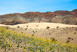"""""""Death Valley Wildflowers 4"""" - Photograph of yellow wildflowers in Death Valley, near the Ibex Dunes area."""