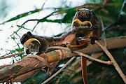 Emperor Tamarins Grooming<br />Saguinus imperator<br />Madre de Dios. Amazon Rain Forest. PERU. South America<br />RANGE: East of Andes, Brazil, Bolivia and Peru<br />CITES: 11