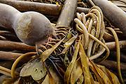 Kelp on Cannon Beach, Oregon coast, USA.