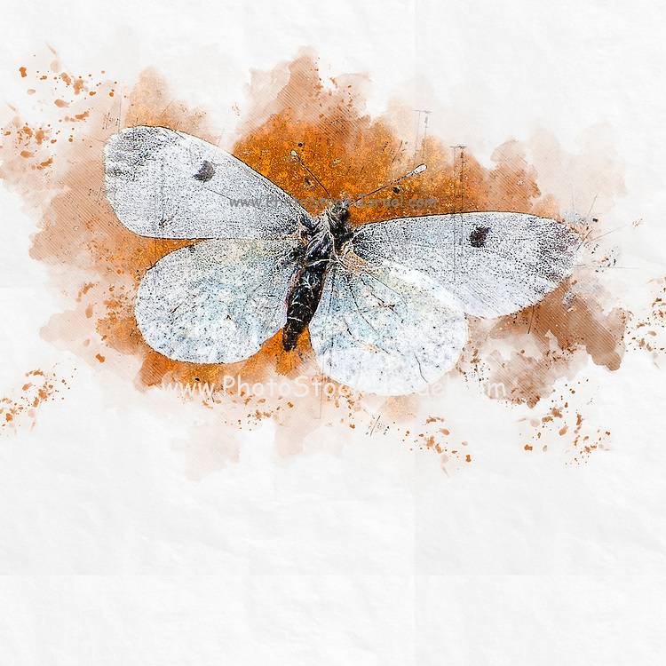 Digitally enhanced image of a white butterfly