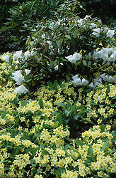 A carpet of Primula vulgaris around the base of a rhododendron at The Dingle. Primroses