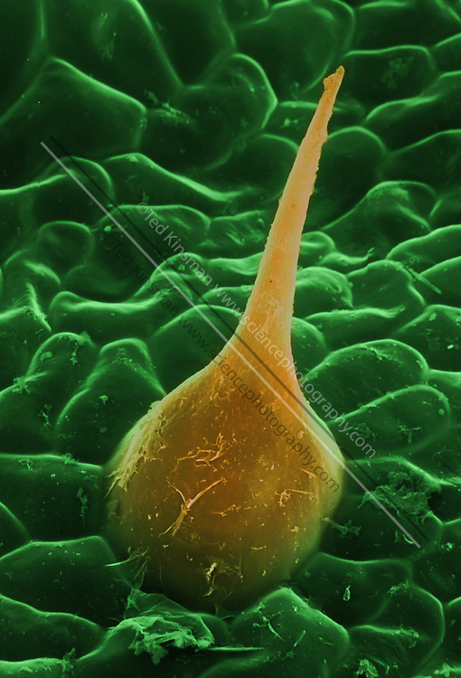 Cannabis plant. Colored scanning electron micrograph (SEM) of a trichome on the top of a leaf of a cannabis (Cannabis sativa) plant.  Magnification is x700 when printed 10 cm wide.
