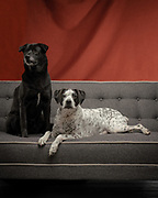 Pet Portrait of two dogs sitting on a couch in the studio