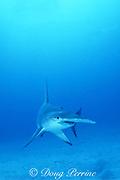 great hammerhead shark, Sphyrna mokarran, Bahamas ( Western Atlantic Ocean )