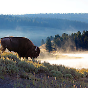 An American bison (a.k.a. buffalo) along the misty shores of the Yellowstone River in Hayden Valley, Yellowstone National Park, Wyoming.
