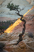 Ancient ponderosa pine bonsai tree with sandstone arch  in Zion National park, Utah.