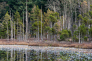 Cotton-grass,  Pine Trees, and other plants growing along the Whonnock Lake Park shoreline in Maple Ridge, British Columbia, Canada