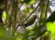 Pocos de Caldas_MG, Brasil..Reserva Particular do Patrimonio Natural (RPPN) em Pocos de Caldas, Minas Gerais. Na foto, detalhe de um Pica-Pau no galho de uma arvore...Private Natural Heritage Reserve (RPPN) in Pocos de Caldas.  In this photo a woodpecker on a branch tree...Foto: JOAO MARCOS ROSA / NITRO .Foto: JOAO MARCOS ROSA / NITRO