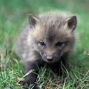 Red Fox, (Vulpus fulva)  Very young kit explores area near den. Spring. Captive Animal.
