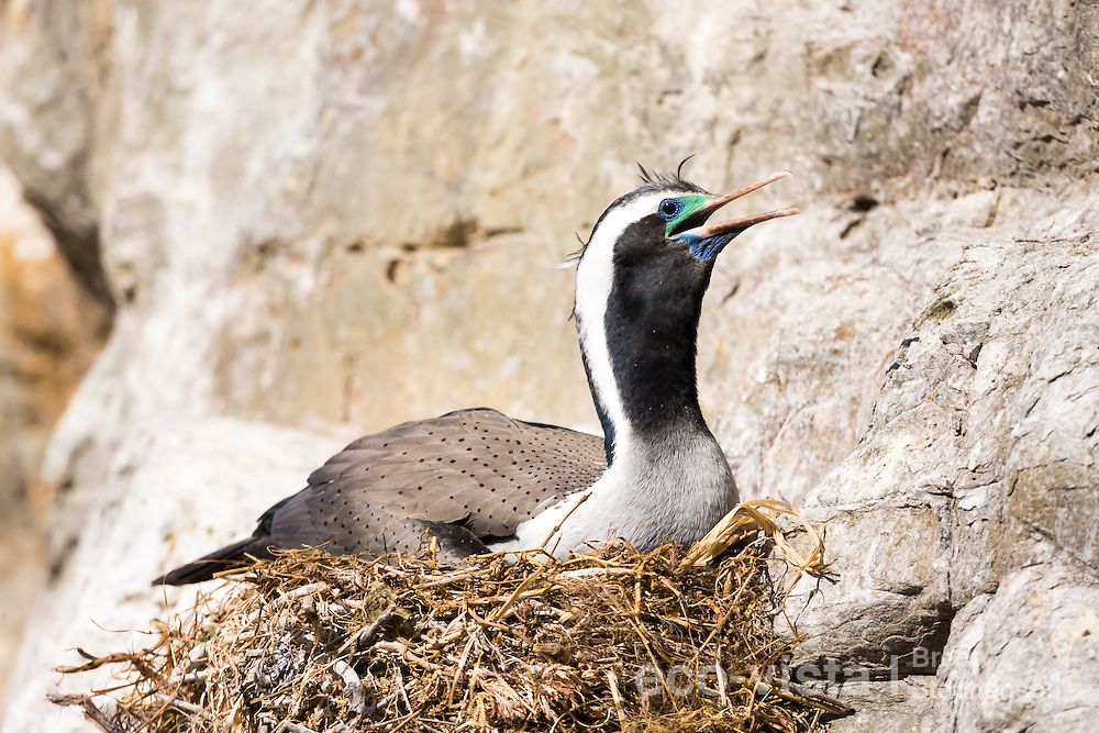 A spotted shag (Stictocarbo punctatus), with the remnants of breeding plumage, incubates eggs at its nest whilst panting to cool down in the sunshine. Ohau Point, Canterbury, New Zealand. September.