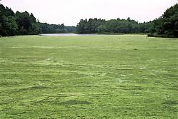 Algae Covered Pond