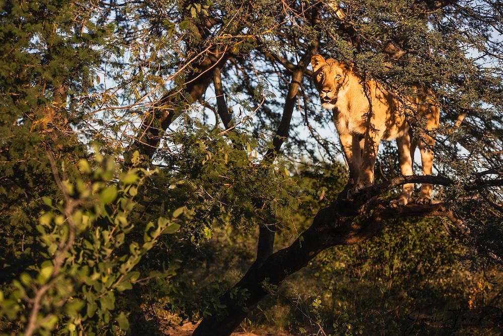 A lion in a tree (Panthera leo),Kalahari Desert, Botswana Africa