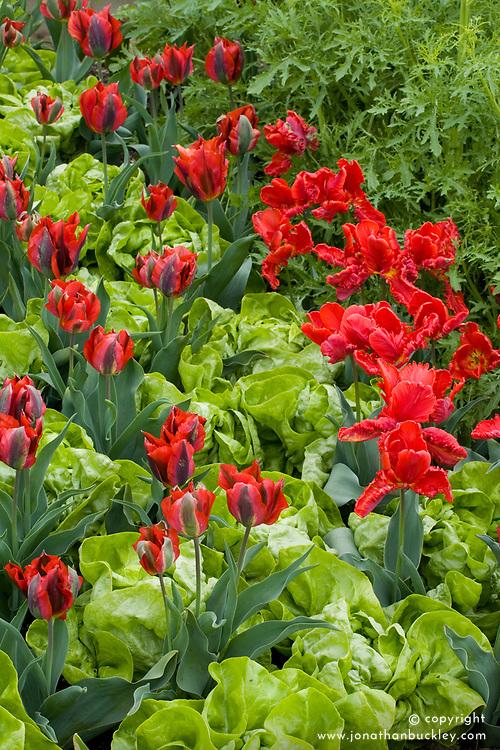 Butterhead lettuce 'Unico' interplanted with Tulipa 'Pimpernel' and T. 'Rococo'