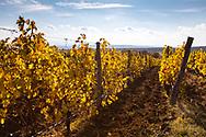 Yellow Vineyard