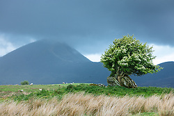 Hawthorn tree and Crough Patrick (Mountain of St. Patrick), County Mayo, Ireland