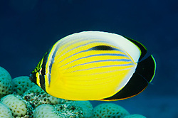 Chaetodon austriacus, Rotmeer Rippelstreifen Falterfisch, Exquisite, Blacktail or Black-Tailes Butterflyfish, Paradise Riff Reef, Rotes Meer, Ägypten, Red Sea Egypt