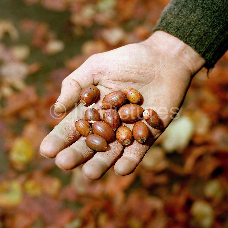A hand of a conservation volunteer holding the seeds of oak trees (acorns) gathered from the hedgerows around the Castle Howard Estate in North Yorkshire, UK. The acorns will be planted and grown on at the Estate's arboretum and eventually planted out to make more trees and hedges in the Howardian Hills. Castle Howard Estate is in the Howardian Hills AONB, a landscape with well-wooded rolling countryside, patchwork of arable and pasture fields, scenic villages and historic country houses with classic parkland landscapes.