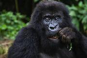 A close-up of an endangered mountain gorilla eating a tree branch (Gorilla beringei beringei), Volcanoes National Park, Rwanda