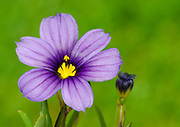 Close-up of a single Sisyrinchium 'Saphine' flower growing in West Acre Gardens in Norfolk