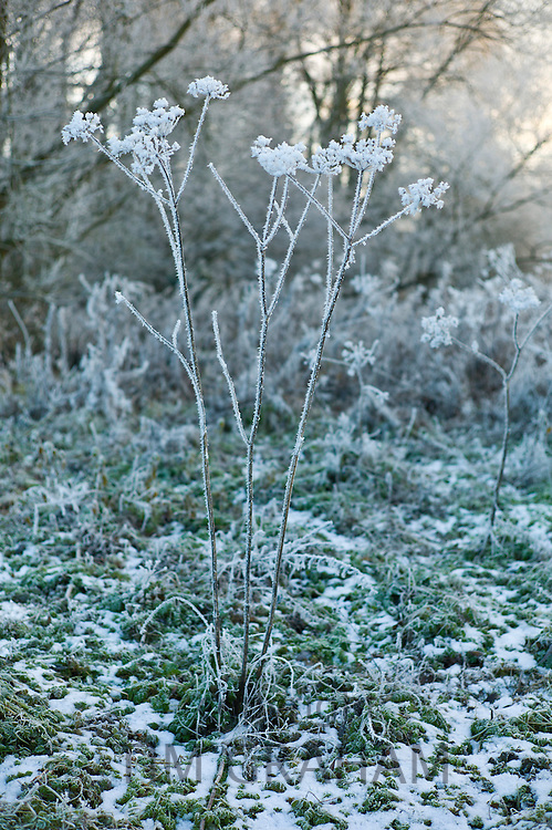 Winter scene hoar frost on Giant hogweed plant in The Cotswolds, UK