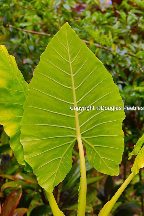 Hawaii Tropical Botanical Garden, Hilo, Hamakua Coast, Big Island of Hawaii