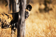 An African Wild Dog (Lycaon pictus) peering past a tree, Moremi Game Reserve,Botswana, Africa
