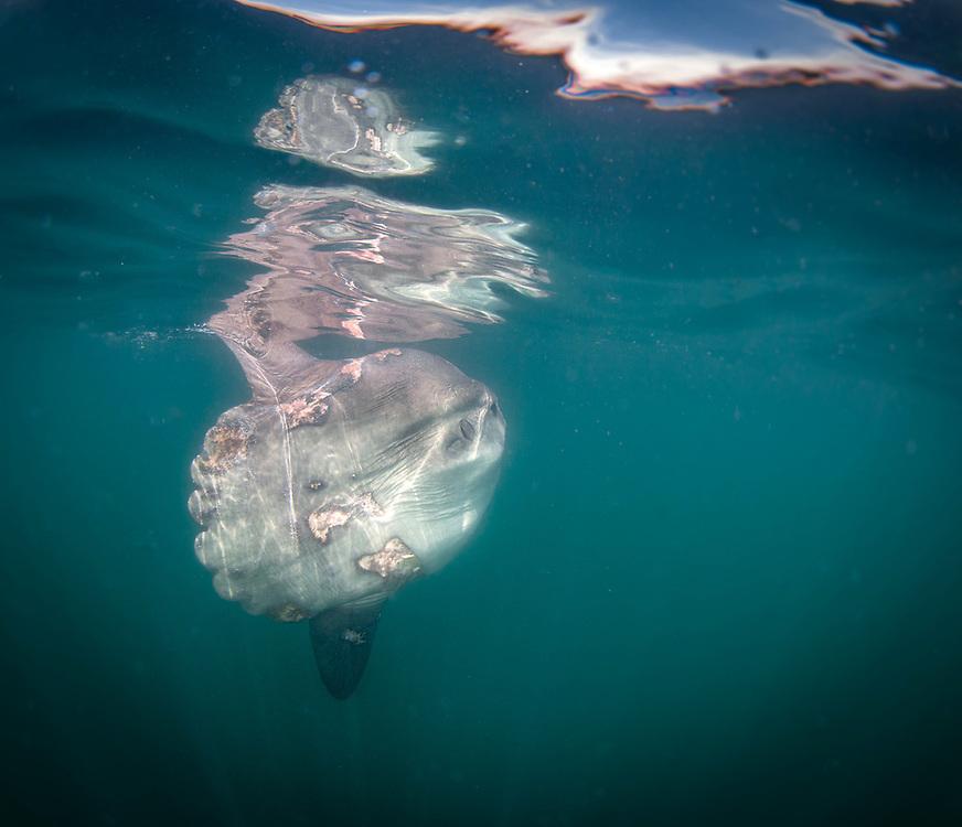 Mola Mola,  Montauk