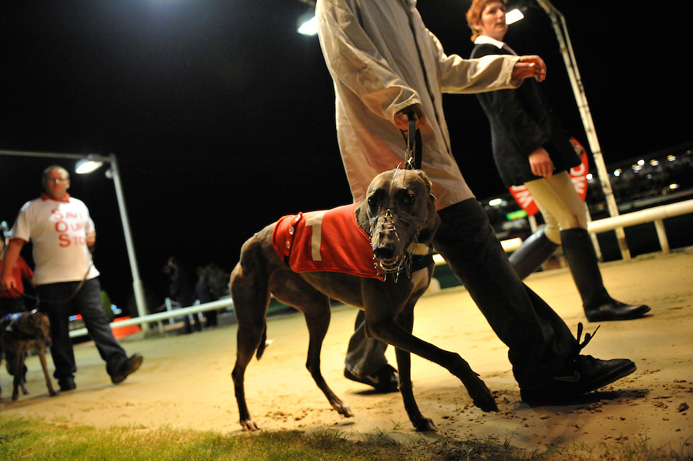 Walthamstow, England.  August 16, 2008.  Greyhound dogs parade around the track prior to their race at Walthamstow Stadium Saturday night.  After a 75 year history the dog racing stadium closed as a result of diminishing profits and poor attendance.  Record crowds flocked to take in the festivites one last time...