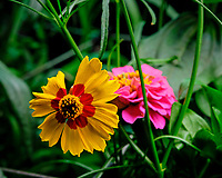 Plains Coreopsis Flower. AeroGarden Farm 04 Left. Fuji X-T3 camera and 80 mm f/2.8 OIS macro lens (ISO 320, 80 mm, f/11, 1/30 sec).
