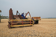 Photo Randy Vanderveen<br /> Grande Prairie, Alberta<br /> 2014-08-25<br /> harvest wheat near Four-Mile Corner Monday, Aug. 25 by members of the Bear Lake Growing Project. The wheat will be sold and money donated to the Canadian Foodgrains Bank, which will receive matching funds from the federal government to be used for relief efforts where needed. Volunteer farmers donated their time and equipment to seed and harvest the crop that was planted on donated land also.