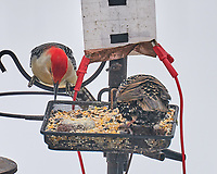 Red-bellied Woodpecker (Melanerpes carolinus), European Starling (Sturnus vulgaris). Image taken with a Leica SL2 camera and 90-280 mm lens.