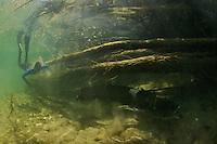 Wels - Silure glane - Wels catfish (Silurus glanis)<br /> Taucher mit Grosswels, Rio Ebro, Spanien<br /> Plongeur avec un très grand Silure, Ebre, Espagne<br /> Diver with very big Wels catfish, Rio Ebro, Spain<br /> CANON EOS 5D EF15/2.8<br /> 18-05-2007