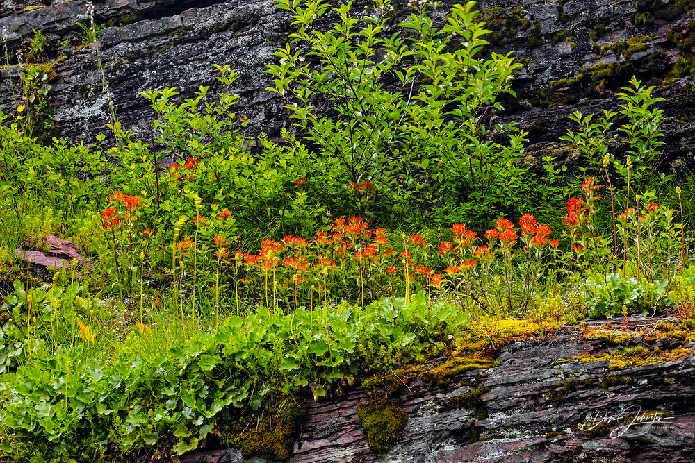 Summer wildflowers Saskatoon and paintbrush along the Going to the Sun Road, Glacier National Park, Montana, USA, Glacier National Park, Montana, USA