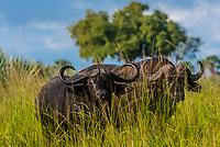 Cape buffalo, Murchison Falls National Park, Uganda.