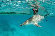 Great Hammerhead shark (Sphryna mokarran) research<br /> MAR Alliance<br /> Lighthouse Reef Atoll<br /> Belize<br /> Central America