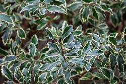 Ilex aquifolium 'Handsworth New Silver' AGM - Holly